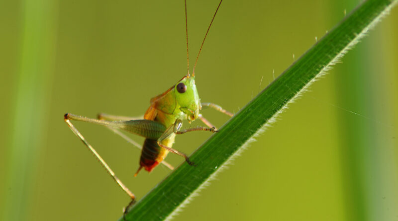 Locusts Facts : What is the definition of locusts ?